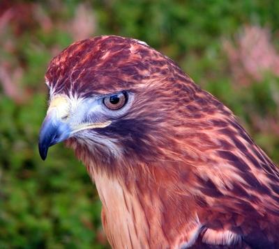 goldenhawk1