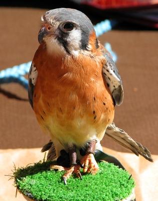 babyhawk1