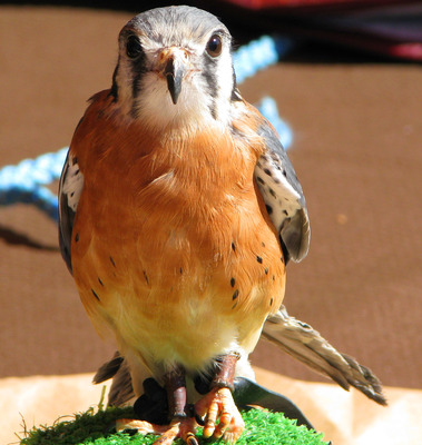 babyhawk