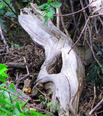 Cowskulldriftwood