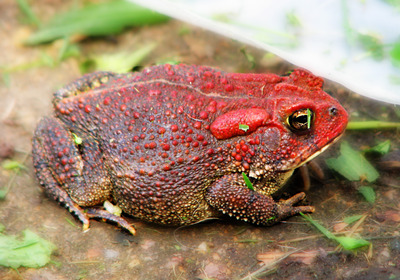 redtoad