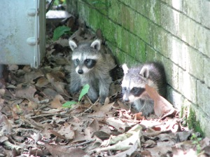 oh shit room and raccoon videos 046