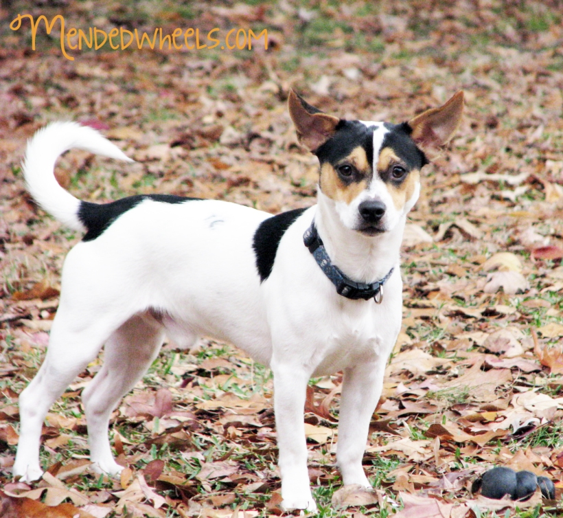 Jack Russell/Rat Terrier Mix, Pip.  You must have permission to use this photo.